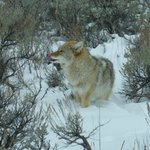 coyote - licking its lips after the meal