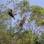 Hornbills on the Kinabatangan River that the lodge is on.