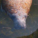Manatees next the boat - 2 Hour Birding and Dolphin Tour