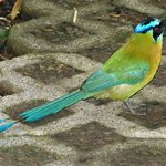 Blue-crowned motmot (often sen)