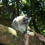 Ringtail Lemur at touching distance