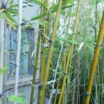 Bamboo in Japanese Gardens