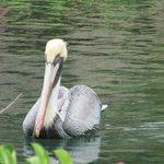Pelican a l hotel au White Sands