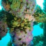 Jewel Anemones on Rainbow Warrior wreck.