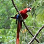 Scarlet Macaw perched right outside of the lodge