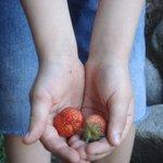 las frutillas que sacamos del jardín