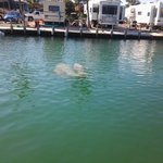 Mother and baby manatee sightings every day
