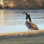 Canada geese on the river bank