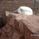 Sleeping White Fox