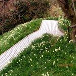 Aqui, os narcisos estão bem mais floridos e mais desabrochados.