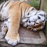Cute and Cuddly Sleeping Tiger Cub