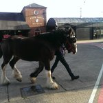 One of the Shire horses being taken for exercise.