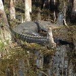 gator seen along the loop road