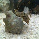 crab enjoying shrimp dinner