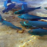 Parrot fish on the shore