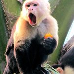 TALKING CAPUCHIN