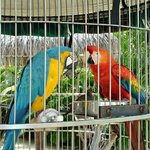 Parrots by the pool