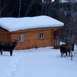 A moose and her yearling right outside Cabin #2
