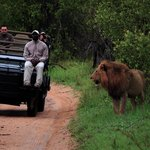 Game drive viewing lion