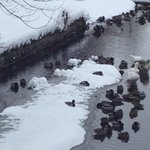 Ducks in snow on the creek