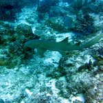 Nurse shark, quite harmless