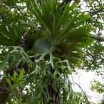 Native Staghorn