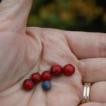 Wild berries that we picked and sampled