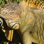 One of the many iguanas that live here.