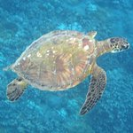 Green turtles will swim up to you if you remain still and just float.l