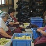 Separação das uvas.