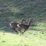 Running deer on Kinnoull Hill by Gavin Matthews