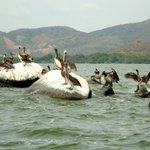Pelicans in Laguna