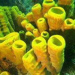 Stovepipe coral