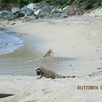 Iguanas visiting the beach