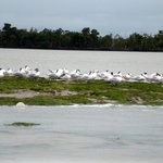 Terns of Florida Bay Seen from Capt. Dave's Boat