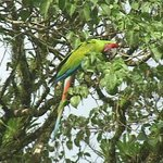 Great Green Macaws rare so great to see