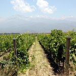 Vineyards of the Andes