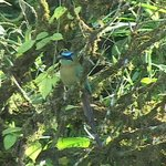 This Blue-crowned Mot mot was by the driveway