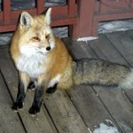 Fox on front deck