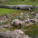 Shelley's alligator