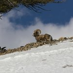 Yellowstone Park- Bighorn Sheep