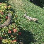 A couple of Iguanas