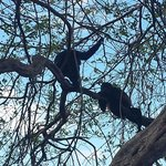 Two Howler Monkeys playing in the trees outside our room