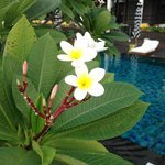 Plumeria by the pool.