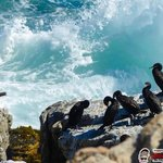 Penguins at Betty's Bay