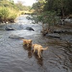 Two of the owner's dogs frolicking in the stream that runs close to the property