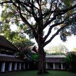 200年羅望子樹