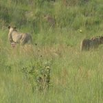 Lioness and mature cubs resting by killClose encounter