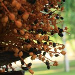 dates in a tree in front of the dining area.
