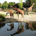 Длинношеее животное - жираф